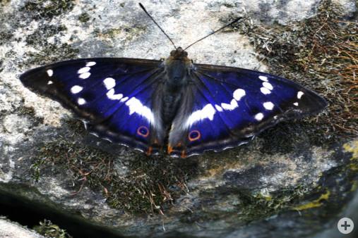 Großer Schillerfalter Apatura Iris (A. Walter)