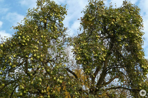 Freistehende Obstbäume Bärenbach (Dr. H. Zelesny)