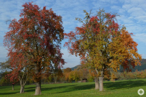 Freistehende Obstbäume (Dr. H. Zelesny)