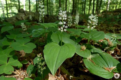 Maibluemchen Maianthemum bifolium (Dr. H. Zelesny)