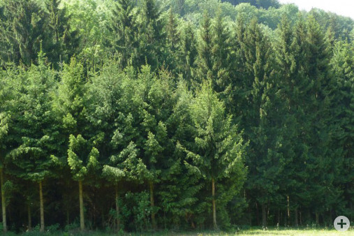 Waldrand Fichte ohne Waldsaum (Dr. H. Zelesny)