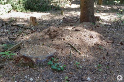 Zerstörter Ameisenhaufen (Dr. H. Zelesny)