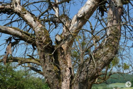 Streuobstbaum Lebensraum für Vögel (Dr. H. Zelesny)