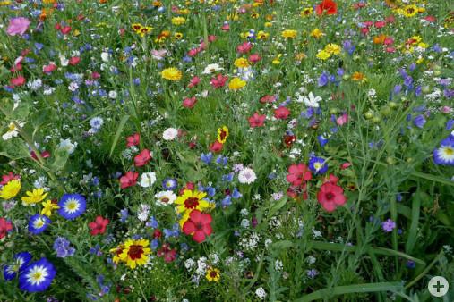 Mössinger Blumenmischung Stauferlandhalle (Dr. H. Zelesny)