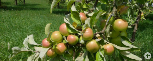 Obst 1 (Dr. H. Zelesny)