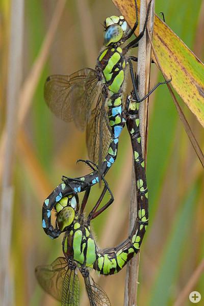 Blaugrüne Mosaikjungfer Aeshna cyanea (M. Nowak)