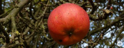 Obst 3 (Dr. H. Zelesny)